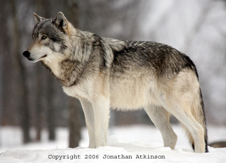 Wolf sitting down side view - photo#28